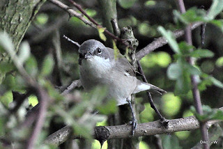 Lesser Whitethroat 4 | by Diko G.W.