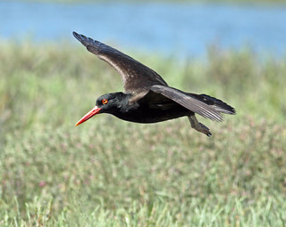 Black Oyster Catcher | by K. Menzel Photography ( on and off)