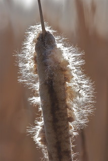 Raupo - Typha orientalis | by Steve Attwood