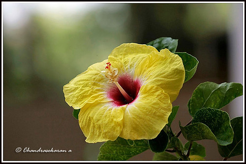 2372 hibiscus - yellow | by chandrasekaran a