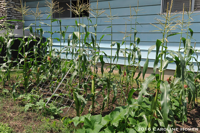 'Luscious' corn patch