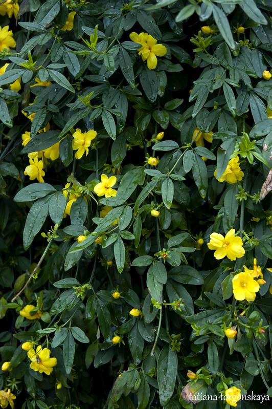 Желтый жасмин