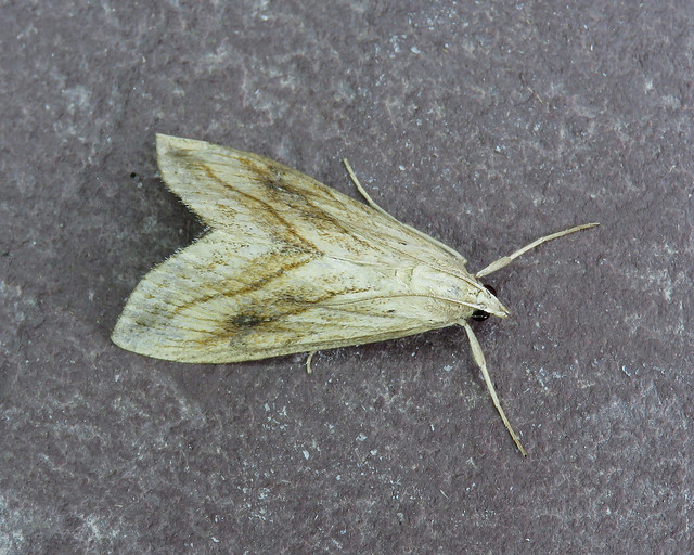 63.057 Garden Pebble - Evergestis forficalis