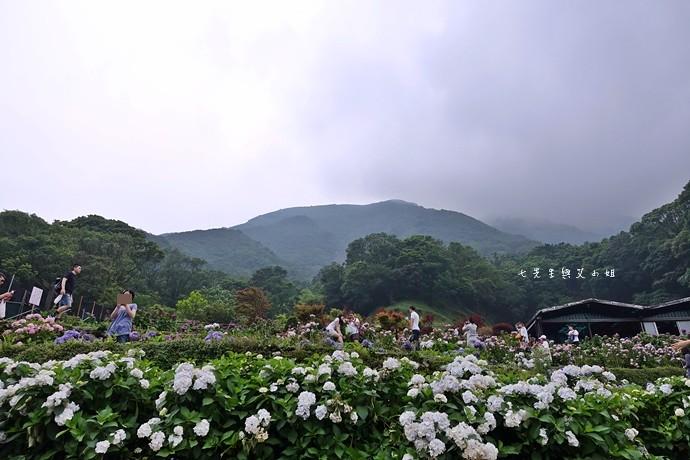 10 陽明山 繡球花 大梯田 竹子湖