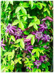 Flowering Passiflora incarnata (Maypop, Purple Passionflower, True Passionflower)