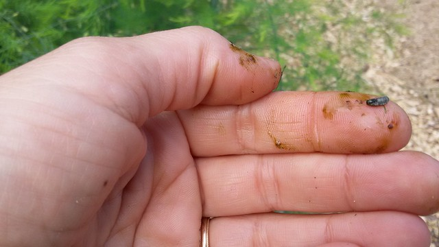 My hands after smushing asparagus beetle larvae by Eve Fox, the Garden of Eating, copyright 2016