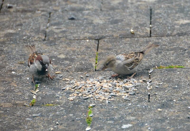 Sparrows 19.06 (8)