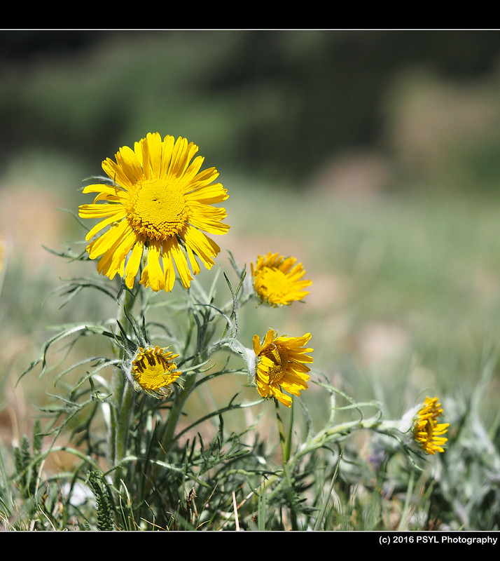 Alpine sunflower (Hymenoxys grandiflora)