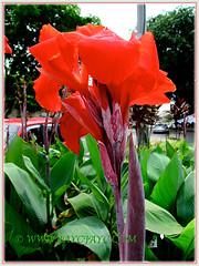 Beautiful red-coloured Canna warscewiczii, 11 Nov. 2011