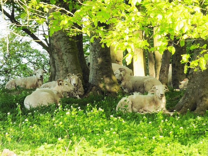 Sheep in the Shadows