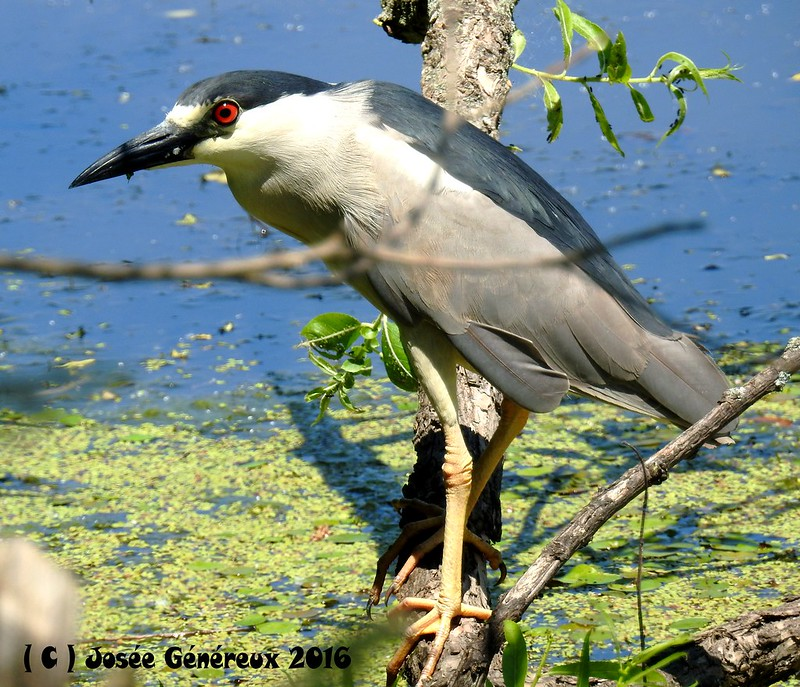 Bihoreau Gris  Fish On !!!!! Vraiment contente de cette observation, il a fait ma journée ;) 27142217524_3729ba6899_c