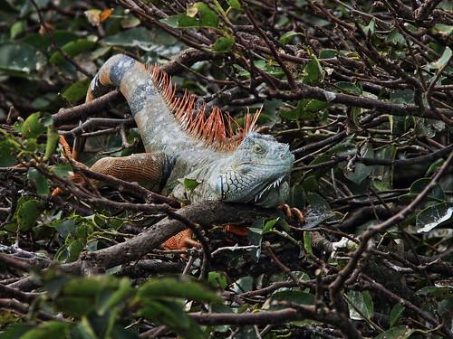 Iguana 20131210