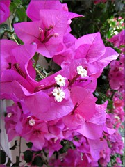 Bougainvillea in the morning sun