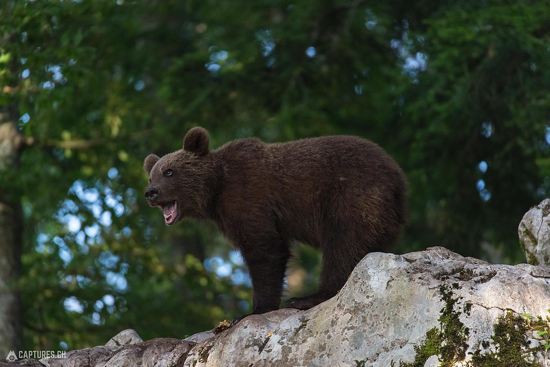 Brown bear - Slovenia