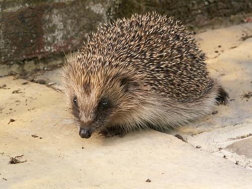 Hedgehog 6.05 (1)
