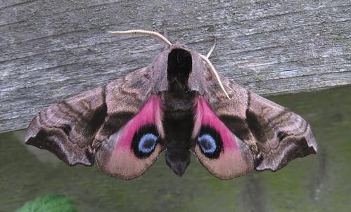 Eyed Hawk-moth Smerinthus ocellata Tophill Low NR, East Yorkshire May 2016