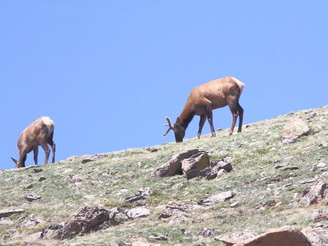 North American Elk 20160615