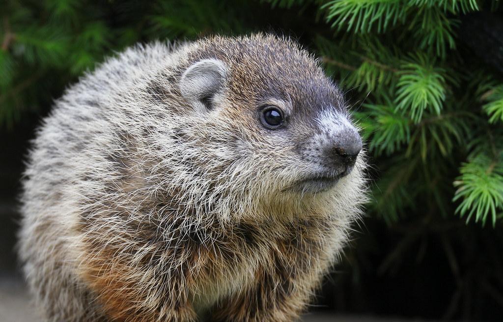 Baby woodchuck - photo#38