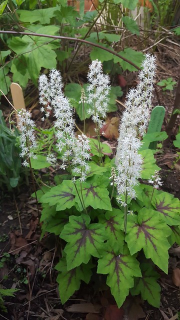 Tiarella cordifolia, heartleaf foamflower, May 2016