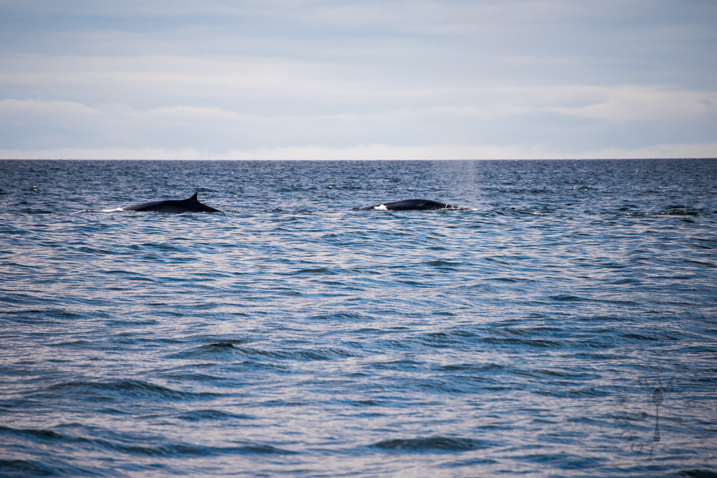 Pod of Fin Whales