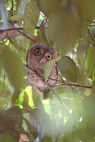 Little screech owl mom is watching on the next branch for Florida fish wildlife
