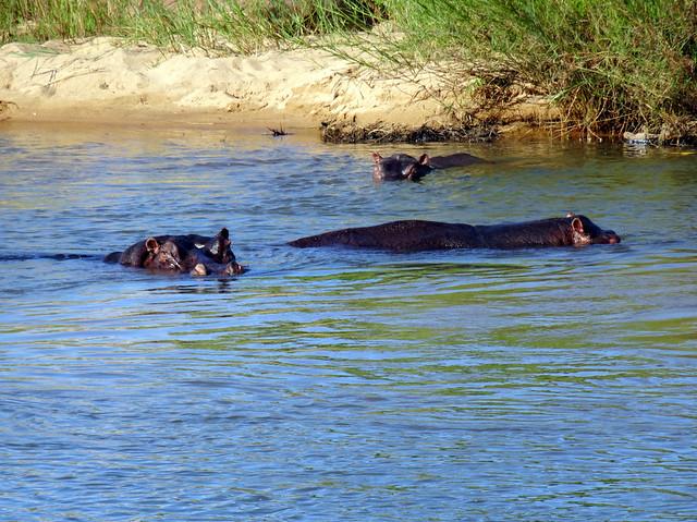 Lion Sands Safari Day 3- Hippopotamus