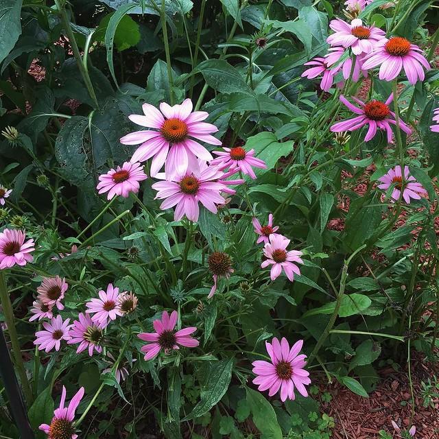 #echinacea #gardening