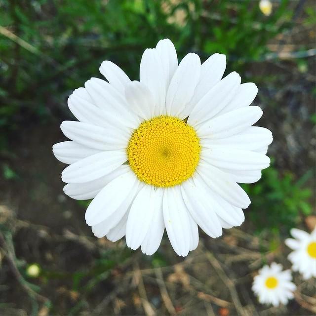 #daisy