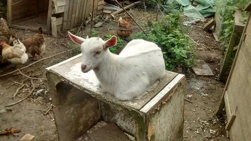 Goat kids July 16 4