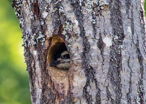 Hairy Woodpecker nestling