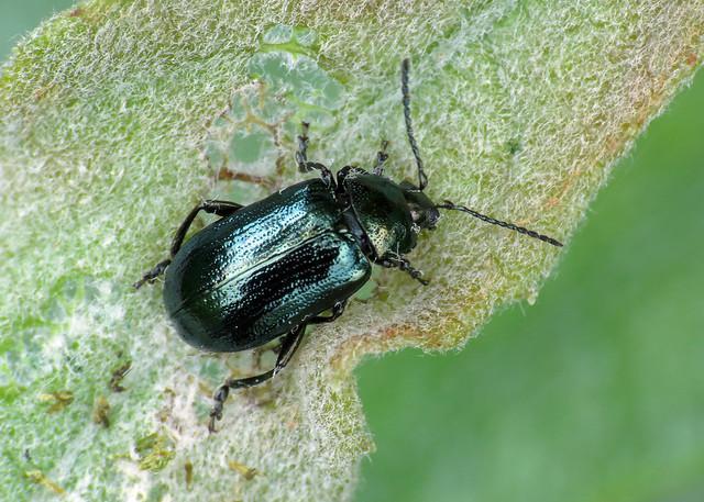 Blue Willow Beetle - Phratora vulgatissima