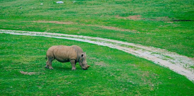Southern White Rhino_14