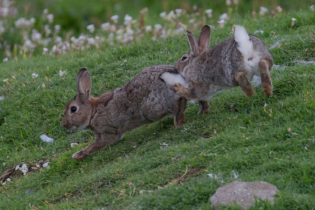 Rabbit  Isle of May,Scotland 2016