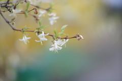 Blütenzauber mit Yashinon DS-M f1.2