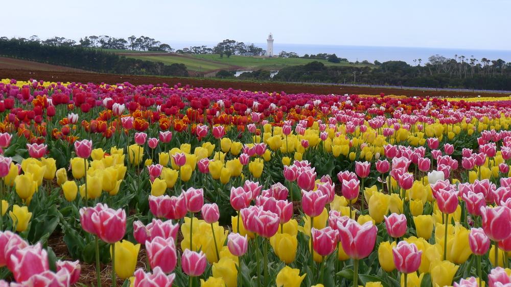 travelingmorioncom-tulips_garden_in_tasmania1-574827a46f30e
