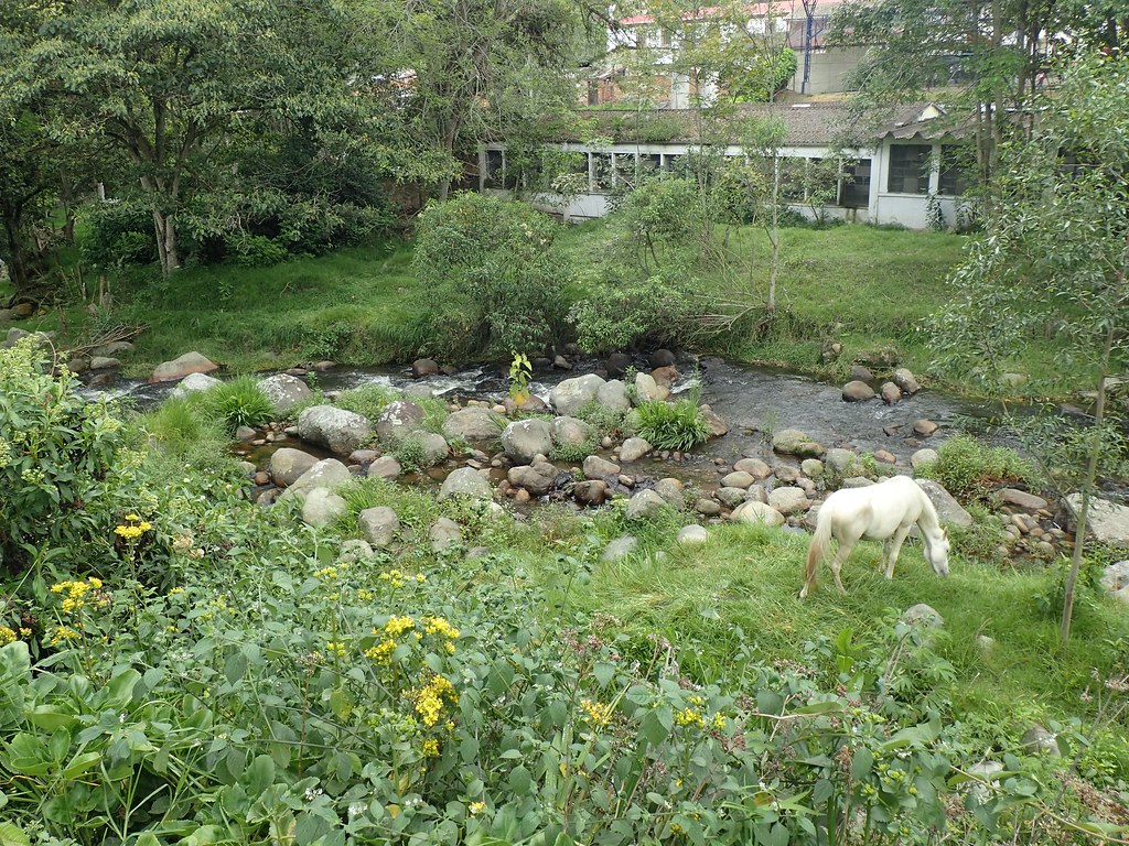 White horse eating by a stream in Colombia