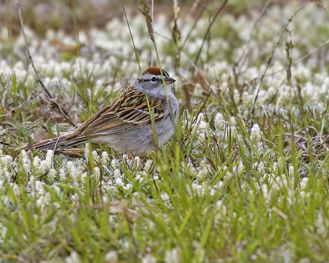 Chipping Sparrow 1-7D2-110516