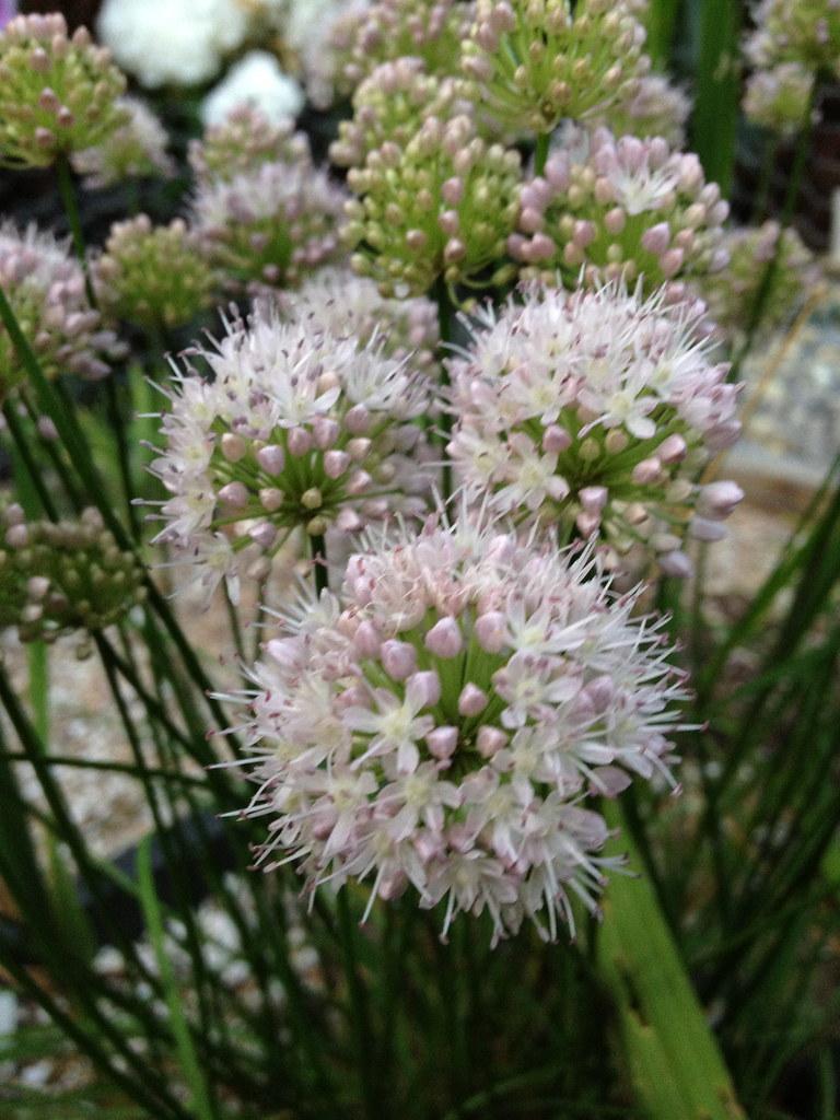 Semis d'Allium 16393698660_accd50f8b8_b