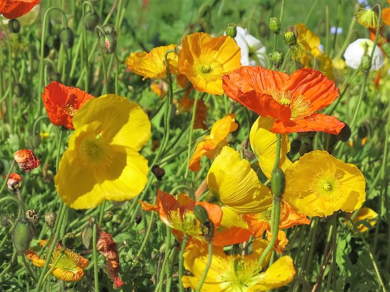 Poppies 26.05 (1)
