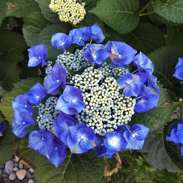 blue hydrangea may 2016