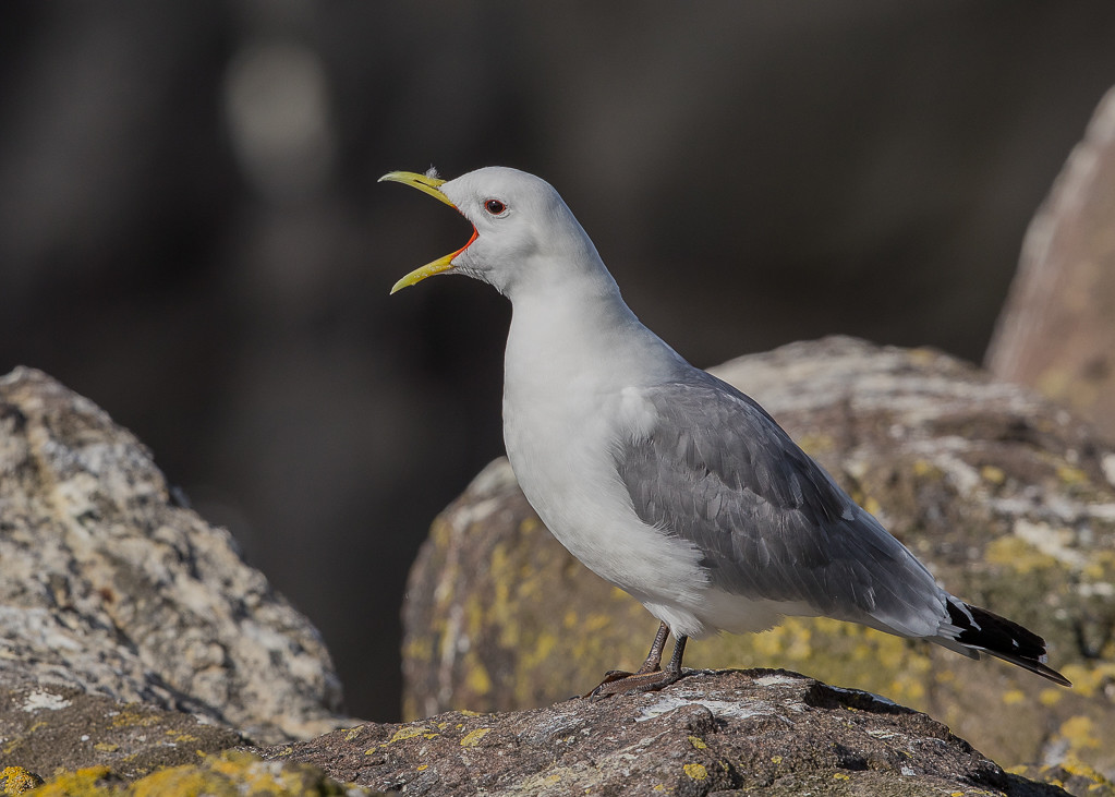 Kittiwake     Isle of May,Scotland,2016