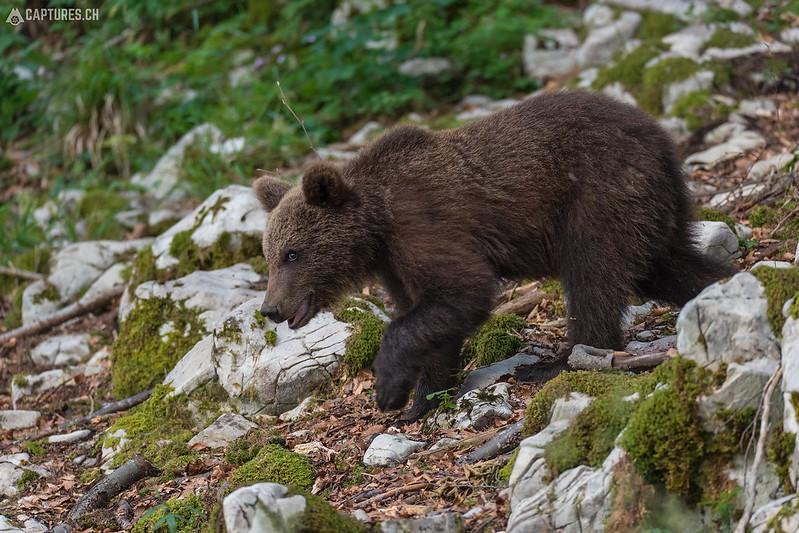 Brown bear 16 - Slovenia