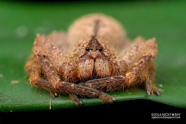 Huntsman spider (Sparassidae) - DSC_3224