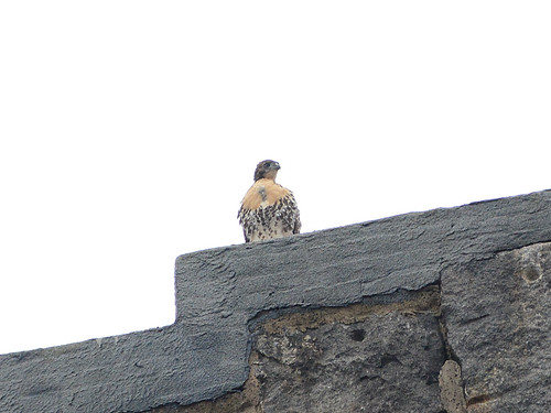 Cathedral Hawk Fledgling - 9704