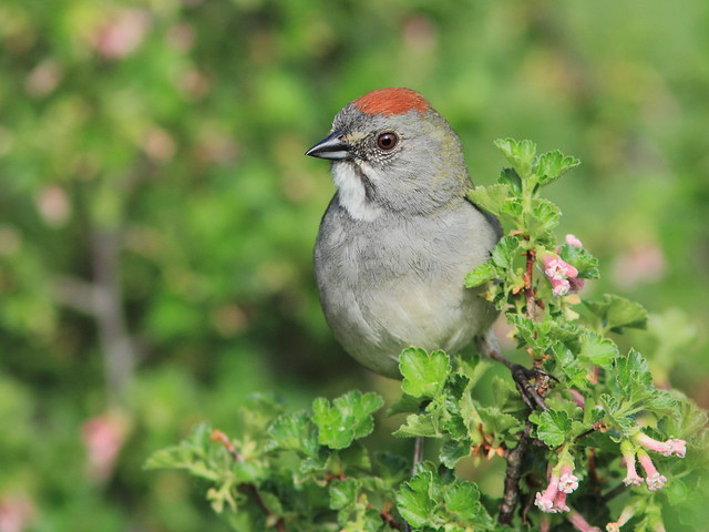 Green-tailed Towhee 02-20160612
