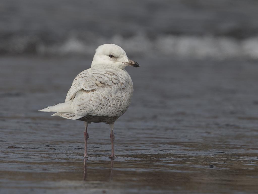Iceland Gull   Iceland