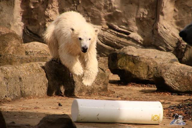 Eisbär Lili im Zoo am Meer 15.05.2016  10
