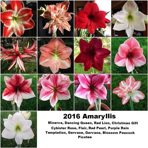 2016 Amaryllis