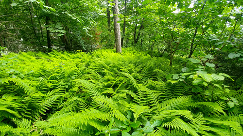 Ferny Forest