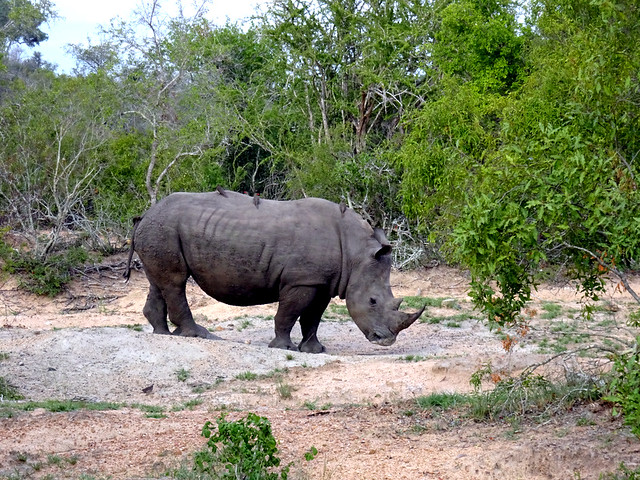 Lion Sands Safari Day 3- Rhinocerous